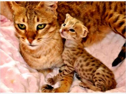 Shining savannah kittens For Sale