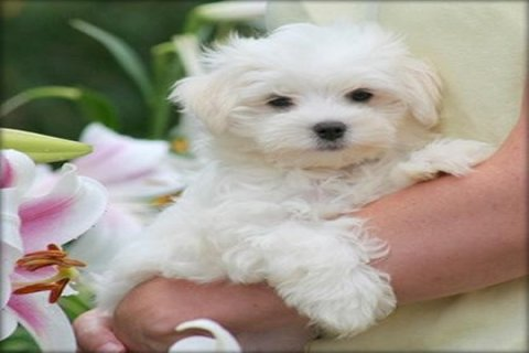 صور Gorgeous White Teacup Maltese Puppies 1