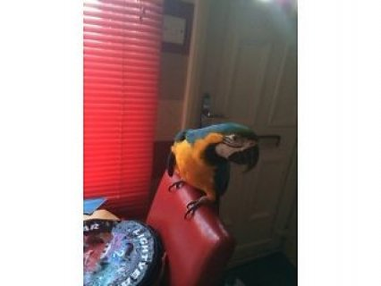 Blue and Gold Macaw Parrots For Sale Now