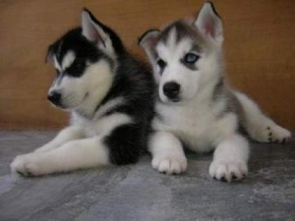 صور Siberian Husky Puppies For Sale Now 1