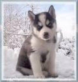 2 Siberian Husky Puppies for Sale