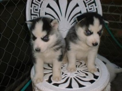 Outstanding quality Siberian Husky Puppies For Sale