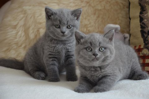 British Short Hair Kittens for a Viewing Please Get in Touch