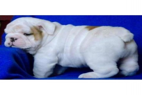 ENGLISH BULL DOG PUPPIES FOR SALE 11 WEEKS OLD