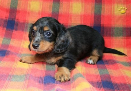 Male And Female Dachshund puppies for Sale