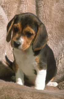 Adorable Male and Female Beagle puppies ready For New homes