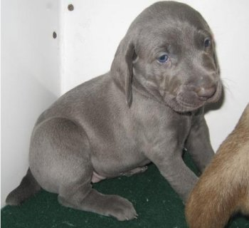 صور Adorable Male and Female Weimaraner puppies For Sale 1