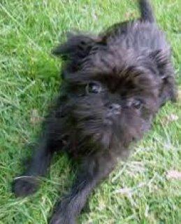 1 1 Week Old foundation trained Affenpinscher puppy