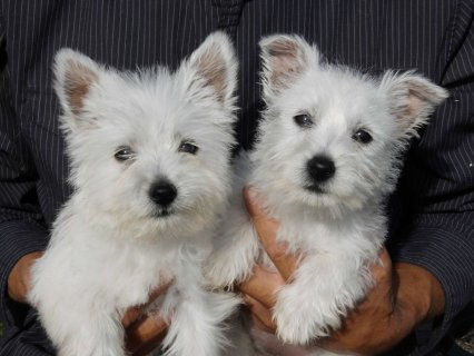 Adorable West Highland White Puppies Available Now
