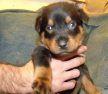 Stunning Pedigree Rottweiler Puppies for adoption