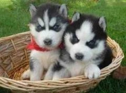 صور Most Loving Baby Siberian Husky For Adoption 1