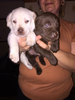 Gorgeous Labrador Retriever Puppies For Sale