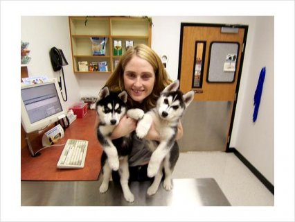 Siberian Husky mixed Puppies Availabe For Gifts To Love Ones