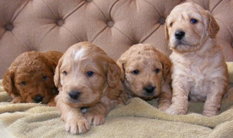 صور Goldendoodle Puppies for sale... 1