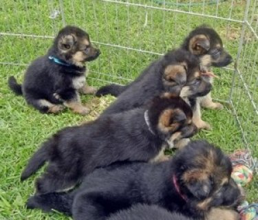صور German Shepherd Puppies for exmass 1