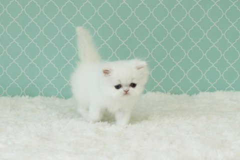 صور Beautiful Baby Persian Kittens Available 1