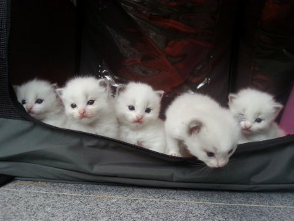 صور Hand-Raised Ragdoll Kittens 1