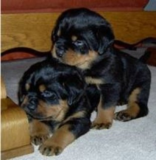 ,,,....Sweet Rottweiler Puppies,,,....,,....
