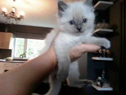 صور Adorable RAGDOLL KITTENS for adoption 1