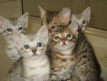 صور BENGAL Kittens  for adoption ... 1