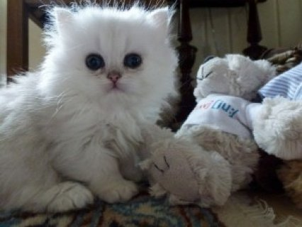 Cute Persian Kittens Available for adoption>><.?