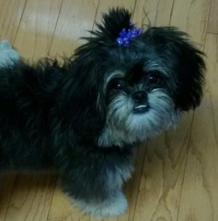 Female Peekapoo Puppy for Sale
