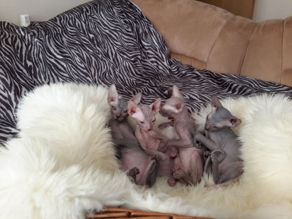 Lovely Sphynx Kittens For Sale