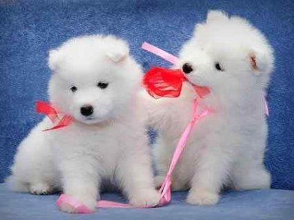 Samoyed puppies for good homes,.,