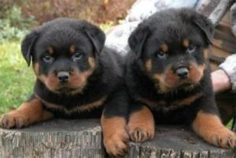 Registered Rottweiler Puppies for adoption
