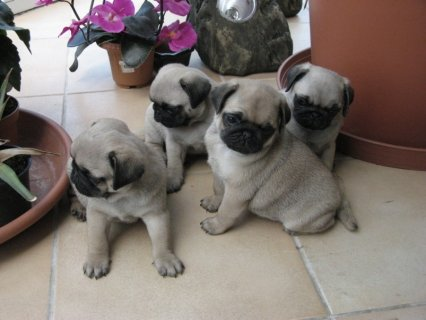 fantastic Pedigree Pug Puppies for good homes