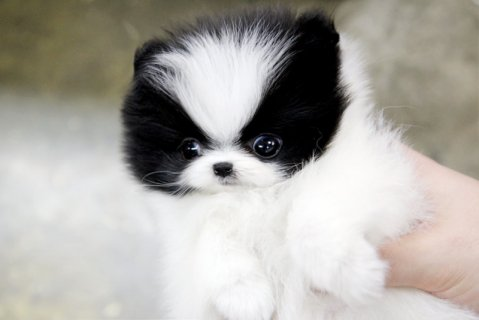 Teacup Pomeranian Puppies (do contact us via larac2733@<g<m<a<i<