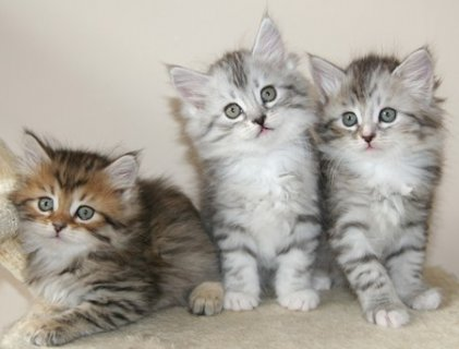 male amd female Siberian Kittens Available