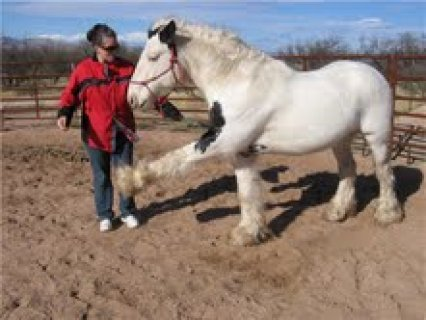 صور  male and female Gypsy Vanner Horse for sale 1