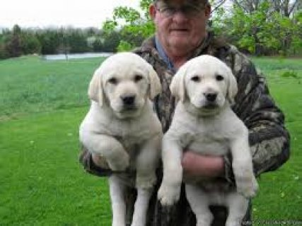 male and female Labrador puppies for your loving home  I have t