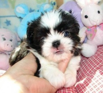 ACK Female shih tzu puppy for sale