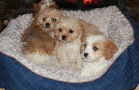 Beautifull Cavachon Puppies