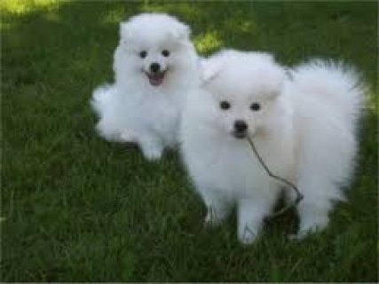 صور male and female American Eskimo Puppies For Adoption 1