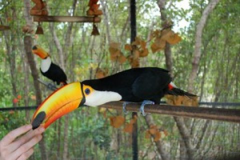صور male and female Toco Toucans Pair! 1