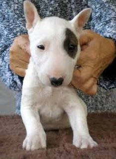 AKC Bull Terrier Puppies -- Outstanding Pedigree!!