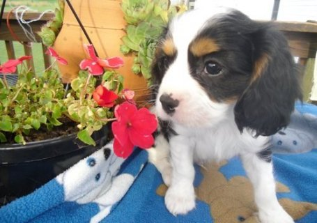 صور Excellent Cavalier King Charles Spaniel puppy for adoption 1
