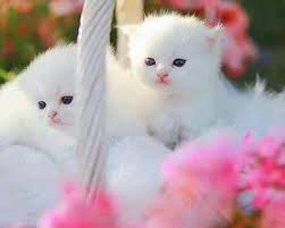 صور Home Raised Ragdoll Kittens for sale 1