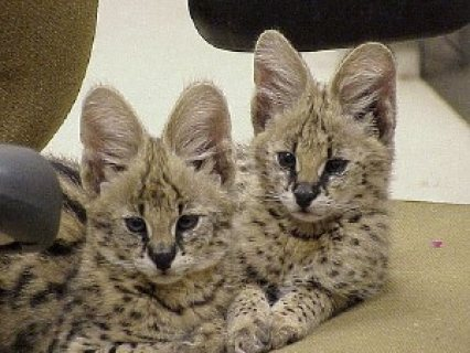 Cute Serval Kittens for Sale