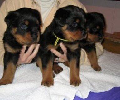 Purebred Rottweiler Puppies222