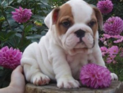 صور Quality English Bulldog Puppies For adoption1112 1