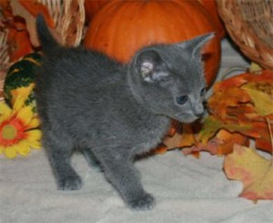 Russian blue kittens EMe Via (( melleygarcia@>g>m>a>i>l>.>c>o>m
