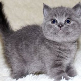 Exclusive Scottish Fold Kittens EMe Via (( melleygarcia@>g>m>a>i