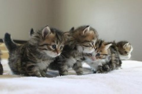 cute Siberian kittens ready for sale EMAIL[melleygarcia@gmail.co
