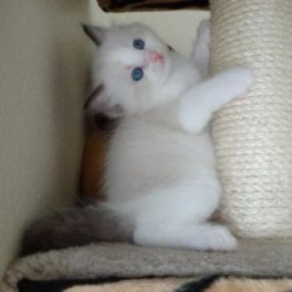 Clean Ragdoll kittens Contact EMAIL[melleygarcia@gmail.com]