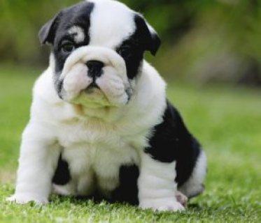 Bailila Sweet English Bulldog puppies needs homes77777