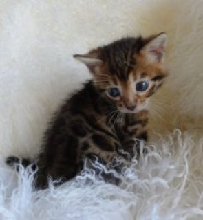 Nice Cute Bengal Kittens Available today for view EMAIL[melleyga